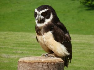 A spectacled Owl at NCBP Duncombe Park, Helmsley