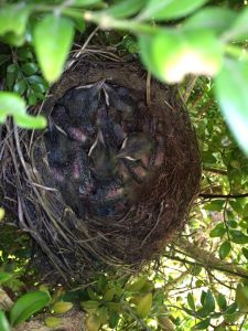 Blackbirds Nest
